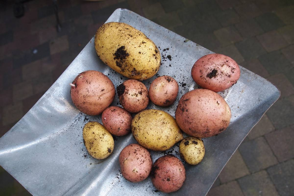 potatoes-913188_1920
