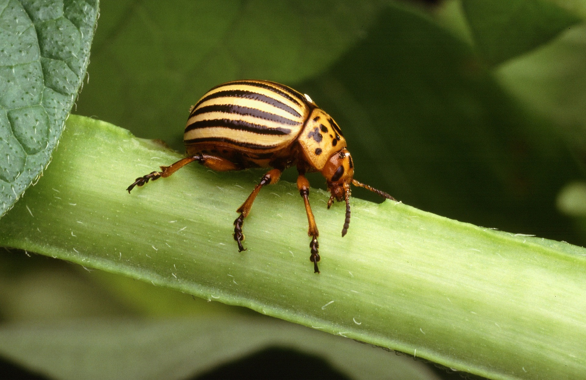 colorado-potato-beetle-1803237_1920